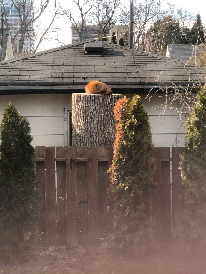 fox sleeping on the tree