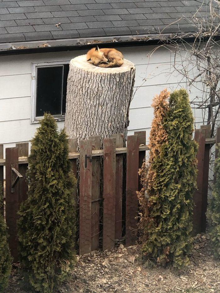 fox- sleeping on the tree