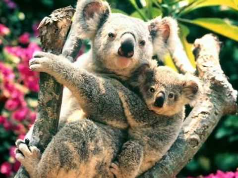 baby and mother coala