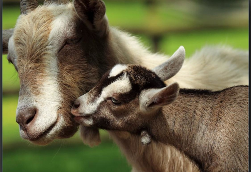 baby goat and mother goat